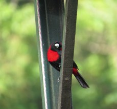Crimson-collared Tanager - Celeste Mountain Lodge 3-20-2015